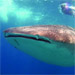 Whale Shark Mozambique
